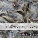 การเลี้ยงปลาดุกในบ่อพลาสติก