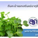 ต้นคะน้างอกเสริมแร่ธาตุซิลิเนียม โดยสำนักงานพัฒนาการวิจัยการเกษตร (องค์การมหาชน) หรือ สวก.