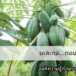 มะละกอ…ตอนกิ่งได้ ต้นเตี้ยลูกโตไม่กลายพันธุ์