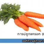 การปลูกแครอท (Carrot)