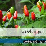 พริกขี้หนู (Hot chilli)