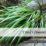ว่านน้ำ (Sweet flag)