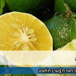 ส้มเช้ง