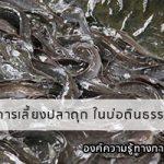 การเลี้ยงปลาดุก ในบ่อดินธรรมชาติ